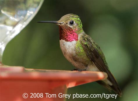 hummingbirds  red birdnote