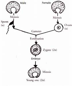 Sexual reproduction in animals - Online Science Notes