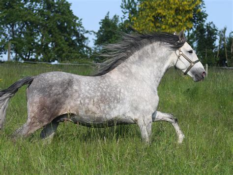 horse andalusian breed ukpets