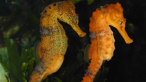seahorse hippocampus reidi slender seahorses pregnant male hippocampe clues sea andreas horse scientists genetic que mer wikipedia cheval poisson animal