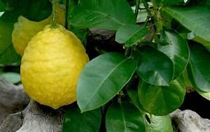 Pflanzen Bestimmen Nach Bildern : zitrone 39 ponderosa 39 pflanze citrus x limon 39 ponderosa 39 citrus canna cystus pflanzen ~ Eleganceandgraceweddings.com Haus und Dekorationen