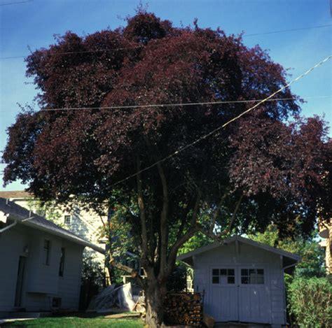 pissard plum article purpleleaf plum trees by arthur lee jacobson