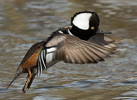 Hooded Merganser male   Duck species, Duck pictures ...