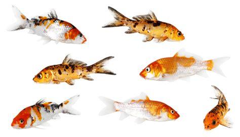 fische im schwimmteich warum ein koi keine gute idee ist