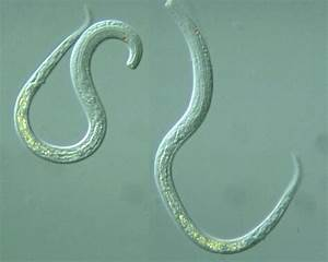 10 Best Phylum Nematoda Images On Pinterest