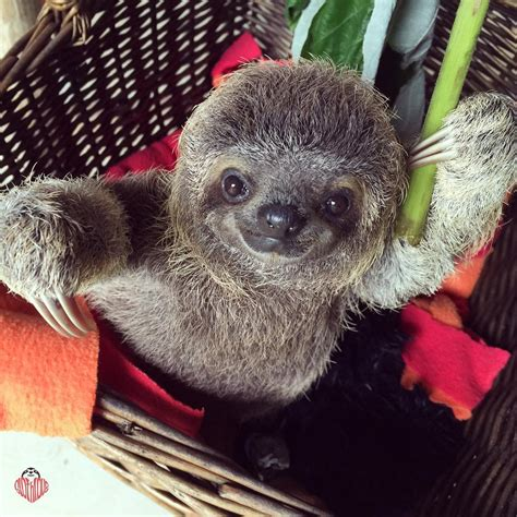 Stumbled Upon More Sloth Pictures Than I Could Handle Had