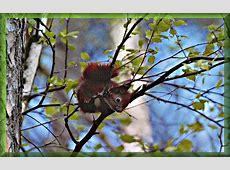 Tierfotos free Eichhörnchen Bild niedlich auf dem Ast