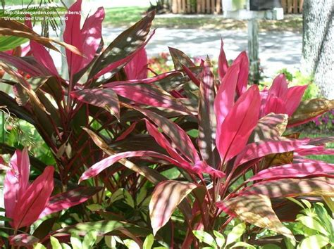 plantfiles pictures cordyline hawaiian ti plant good