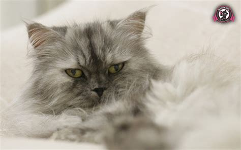 do ragdoll cats shed cat shedding much popular breeds of cats