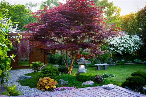 maple tree japanese bloodgood japanese maple the tree center