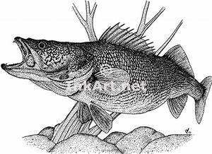 Walleye (Sander Vitreus) Line Art and Full Color Illustrations