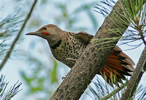 northern flicker photo birds of colorado photos at pbase com