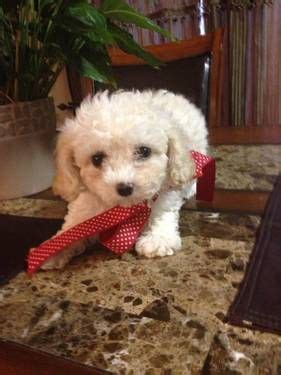 Do Bichon Poodles Shed by 17 Best Images About Poo On Kinds Of
