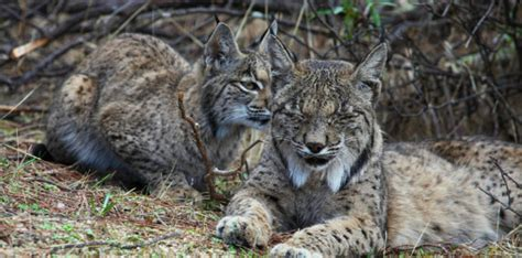 lynx iberian conservation spain wildlife tour andalucia land sky tours population days spanish wild wilderness nature