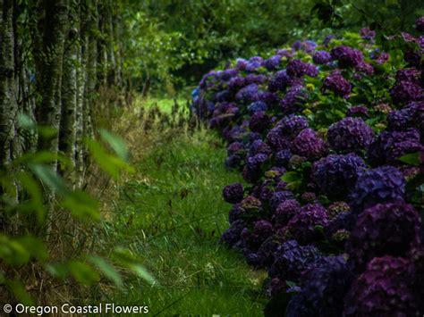 deep purple hydrangea wedding flowers oregon coastal flowers