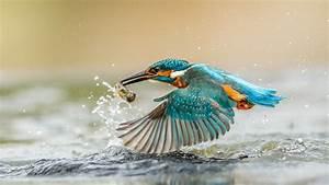 Kingfisher catching fish, wings, water splashes, drops ...  Kingfisher