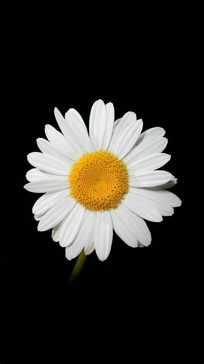 Daisy Iphone Flower Wallpapers Flowers Pantalla Parede