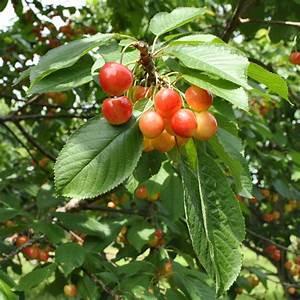 Emperor Francis Sweet Cherry - Cherry Trees