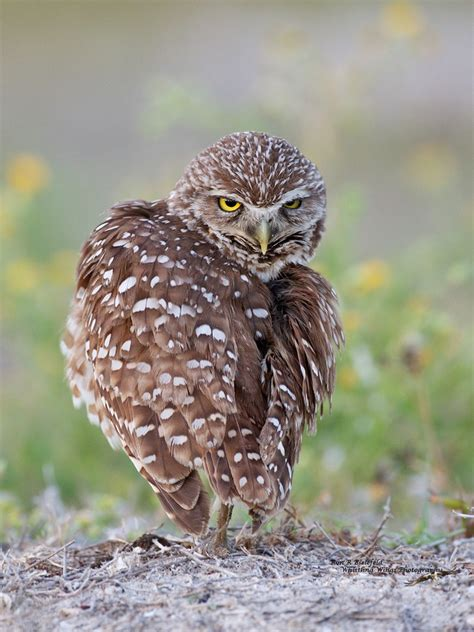 florida burrowing owl birds the owls are taking over