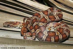 Baby Feet Size Chart Corn Snake Reptiles Of Alabama Inaturalist