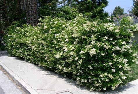 piante da giardino sempre verdi piante sempreverdi da terrazzo o da giardino ecco quali