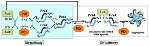 Upon Reaction With H2o2  Cysp Of Reduced Prx4 Is Oxidized