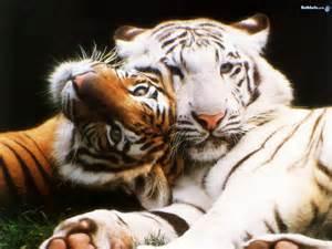 big cats big cats the animal kingdom wallpaper 250742 fanpop