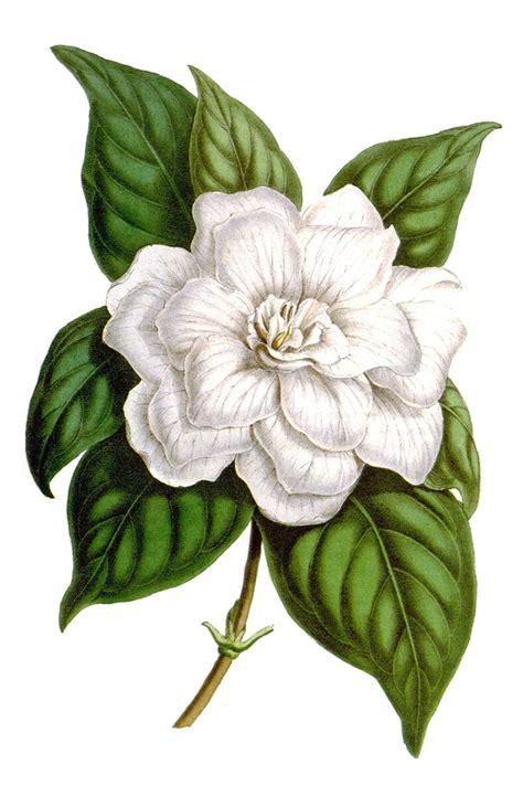 gardenia jasminoides  book illustrations