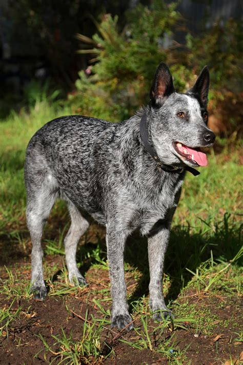 blue tick heeler shedding truly interesting facts about australian cattle dogs blue