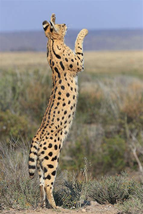 Serval - Japari Library, the Kemono Friends Wiki
