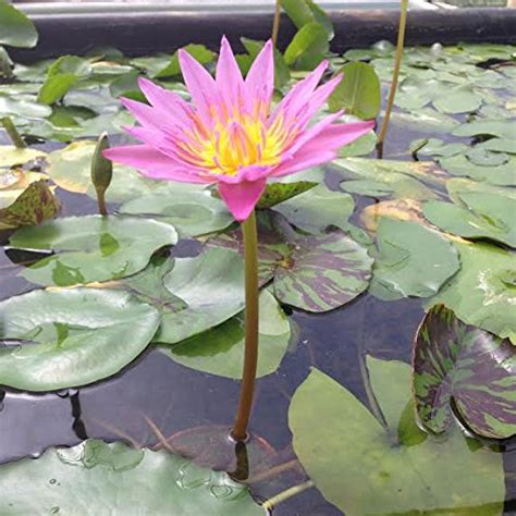 Tropical Water Lily Bundle  Water Garden Live Pond Plant