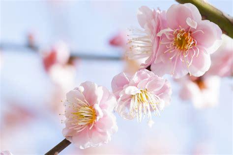 cherry blossom   plum blossom