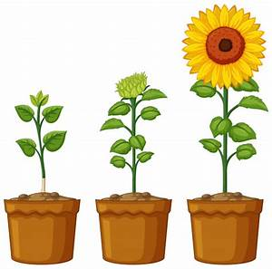 Sunflower Background Vectors, Photos and PSD files | Free ...