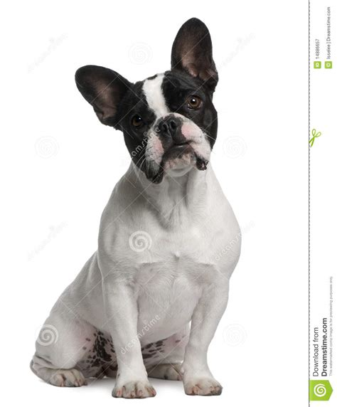 french bulldog puppy  months  sitting royalty