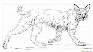 How To Draw A Bobcat Step By Step Drawing Tutorials