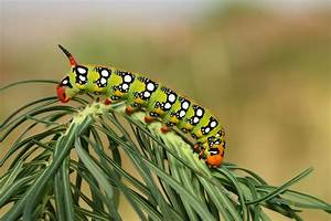 Tomato Plants Can Turn Caterpillars Into Cannibals