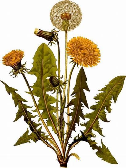 Dandelion Clipart Svg Common Transparent Detailed Plant