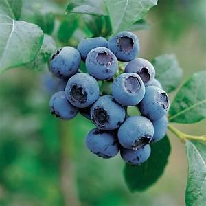 Blueberry Goldtraube - Vaccinium corymbosum Goldtraube ...