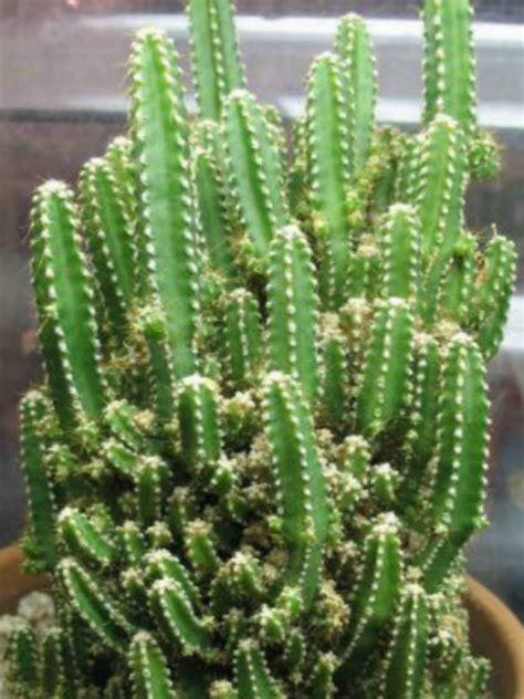 pics of cacti acanthocereus tetragonus fairy castles fairy castle