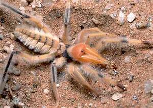 Biggest Camel Spider in the World | Topix
