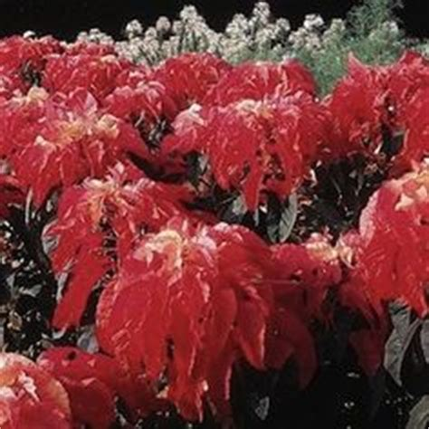 72101 Swallowtail Seeds Coupon by 1000 Images About Amaranthus On Annual
