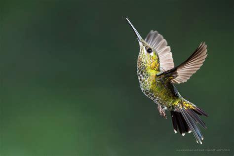 Kfer Anime Wallpaper - colibri bird birds flying hummingbirds wallpapers hd