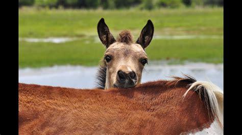 chincoteague wild ponies foals