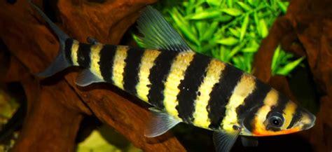 banded leporinus behaviour shoaling habitat size water ph