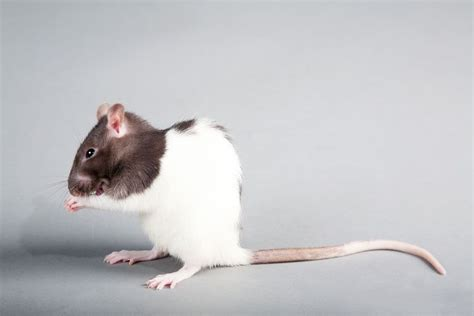 common health problems  pet rats petshomes