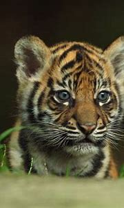 Cute Tiger Wallpapers - Top Free Cute Tiger Backgrounds ...