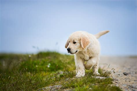 Cute White Puppies Wallpaper Wallpaper Labrador Retriever Puppy Dog Hd 4k Animals 3006