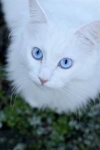 White Cats With Blue Eyes In Snow | www.pixshark.com ...