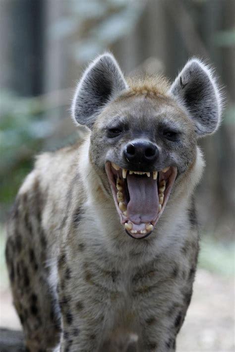 hyena ideas  pinterest hyena animal