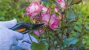 Rosen Schneiden Zeitpunkt : rosen schneiden anleitung wann und wie sie den schnitt machen ~ Frokenaadalensverden.com Haus und Dekorationen